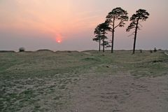 Pine trees on beach Stock Images