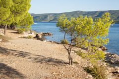 Pine trees on a beach Stock Image