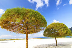 Pine trees and the Beach Stock Images