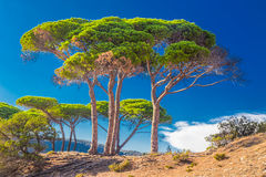 Pine trees on the beach in Corsica island, France, Europe. Stock Image