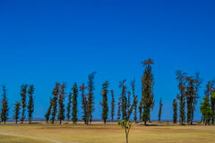 Pine Trees on the Beach Stock Images