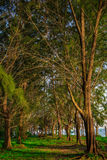Pine trees by the beach. Some Pine trees By the beach for background use Royalty Free Stock Photos
