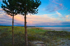 Pine trees on the beach Royalty Free Stock Image