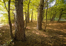 Pine trees in a beautiful forest on an autumn stock image