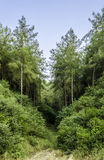 Pine trees. Beautiful rural landscape with pine trees Stock Images
