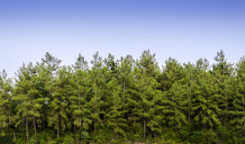 Pine trees. Beautiful rural landscape with pine trees Stock Photos