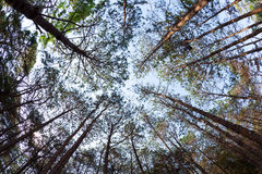 Pine trees from below Stock Photo
