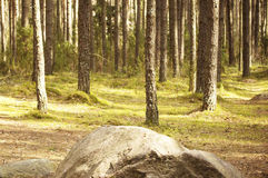 Pine trees and a big stone in front Royalty Free Stock Photography