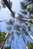 Pine Trees and Blue Skies Royalty Free Stock Photos