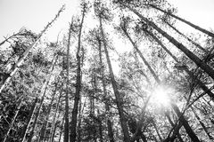 Pine Trees and Blue Skies Royalty Free Stock Photography