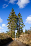Pine trees with blue sky Stock Images