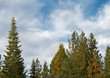Pine Trees Blue sky Stock Photo