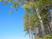Pine trees blue sky Stock Photos