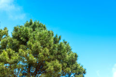 Pine trees and blue sky. Royalty Free Stock Photos