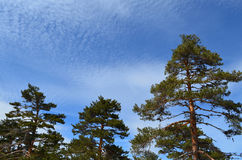 Pine trees with blue sky and cloud. S Royalty Free Stock Photography