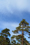 Pine trees with blue sky and cloud. Pine trees and blue sky with copy space Royalty Free Stock Photography