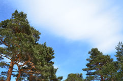 Pine trees with blue sky. Pine trees and blue sky with copy space Stock Photos