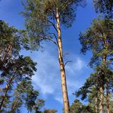 Pine trees and blue sky Stock Photos