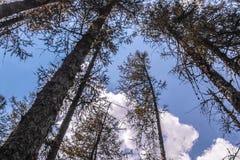 Pine trees and blue sky. Pine tree and blue sky Stock Photo