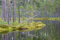 Pine trees on the bog at the lake Stock Photography
