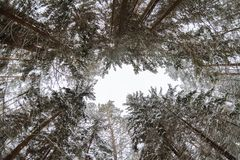 Pine trees bottom view in winter. Blue sky stock images