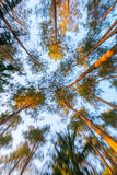 Pine trees bottom view zoom effect Stock Images