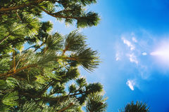Pine trees branches against blue sky. Nature landscape at european seacoast. Natural Green Botanical Background with copy space Royalty Free Stock Photo