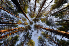 Pine trees branches in forest Stock Photo