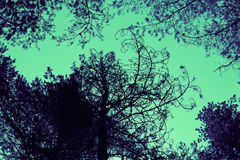 Pine trees brunches silhouettes on the colorful sky background. Royalty Free Stock Photo