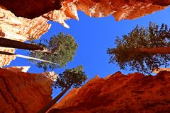 Pine Trees at Bryce Canyon NP, Utah, USA Royalty Free Stock Image