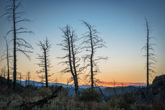 Pine trees burned by wildfire. Pine trees burned by 2012 Hewlett Gulch Wildfire at Greyrock near Fort Collins, Colorado, silhouette against sunset sky Stock Photography