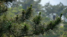 Pine trees,bushes in the wind,Dense swing tree,Hillside weeds & grass. Pine trees,bushes in the wind,Dense swing tree,Hillside weeds & grass.  gh2_02018 stock video