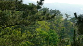 Pine trees,bushes in the wind,Dense swing tree,Hillside weeds & grass. Pine trees,bushes in the wind,Dense swing tree,Hillside weeds & grass.  gh2_02016 stock footage