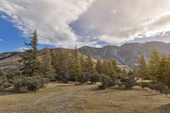 Pine trees at campsite in Glentanner Park Centre, Aoraki / Mount Cook National Park, Canterbury, New Zealand.  stock photos