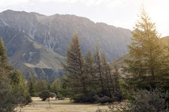 Pine trees at campsite in Glentanner Park Centre, Aoraki / Mount Cook National Park, Canterbury, New Zealand.  stock photography