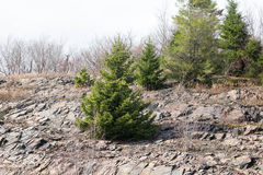Pine trees Royalty Free Stock Photos