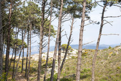 Pine trees in Cies islands natural park, Galicia Royalty Free Stock Images
