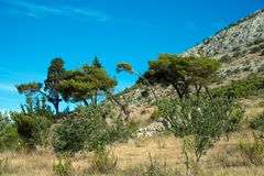 Pine trees with a clear blue sky. In the Biokovo mountain range near the dalmatian town Omis in Croatia Royalty Free Stock Images