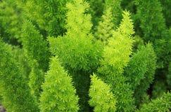 Pine trees Stock Photo