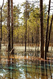 Pine trees on the colored water. Pine trees on the strange rainbow colored water in the spring forest Royalty Free Stock Photography