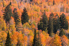 Pine trees in colorful aspen grove Stock Images