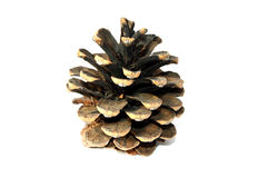 Pine Trees Cone Pictures Royalty Free Stock Image
