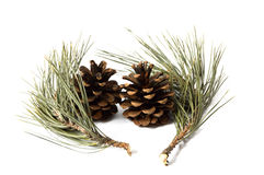 Pine Trees Cone Pictures Stock Images