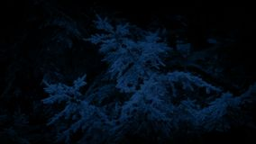 Trees With Pine Cones At Night. Pine trees with cones in the dark stock video