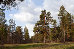 Pine-trees in coniferous forest. Ural, Russia. Stock Photo