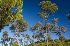 Pine trees on the Costa Brava. Pine trees above the town of Estartit on the Costa Brava Royalty Free Stock Images