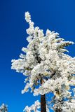 Pine trees covered in frozen snow on a sunny but cold day; Mount San Antonio Mt Baldy, Los Angeles county, California royalty free stock images
