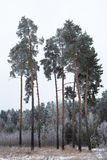 Pine trees covered with hoarfrost Royalty Free Stock Image