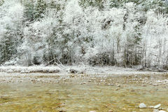 Pine trees covered with hoarfrost rime ice along the stream Stock Photos