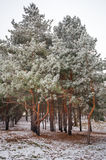 Pine trees covered with hoarfrost. Royalty Free Stock Photos